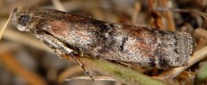 Rhodophaea formosa 06 1