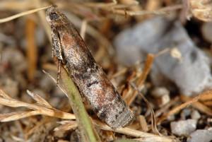 Rhodophaea formosa 06 2