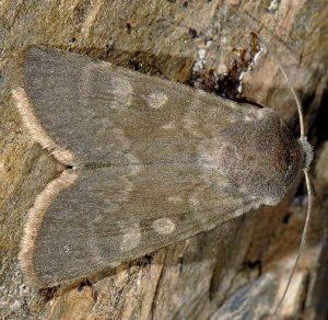 Rhyacia helvetina 2