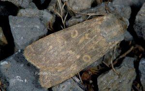Rhyacia lucipeta