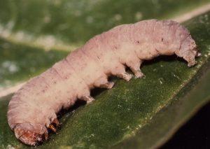Rhyacia lucipeta L5