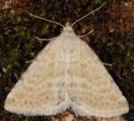 Rhypagla lacernaria (I)