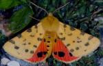 Rhyparia purpurata (I, L5)