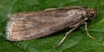 Salebriopsis albicilla 73 1