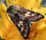 Schinia cognata (i, L5)