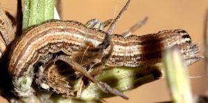 Schinia cognata L5 1