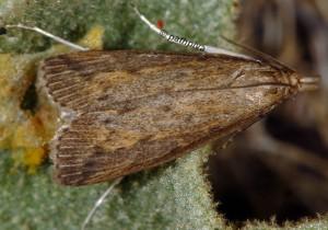 Schoenobius gigantella 13 1