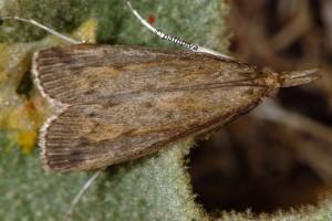 Schoenobius gigantella 13 2