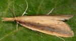 Schoenobius gigantella 34 1