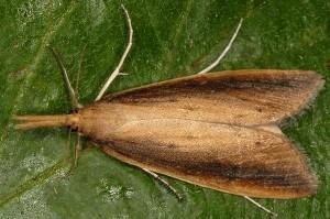 Schoenobius gigantella 34 2