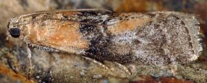 Sciota adelphella 38 1