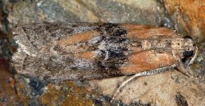 Sciota adelphella 38 2