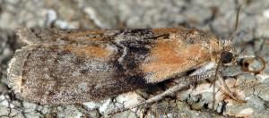 Sciota adelphella 38 3