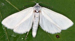 Scirpophaga praelata 13 1