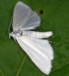 Scirpophaga praelata 13 2