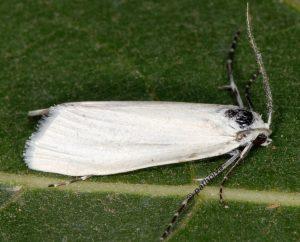 Scirpophaga praelata 13 3