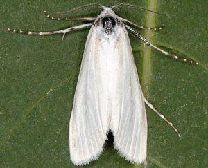 Scirpophaga praelata 13 4
