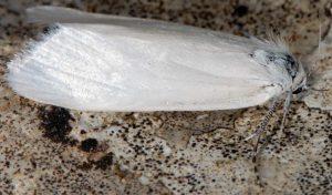 Scirpophaga praelata 13 5