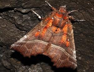 Scoliopteryx libatrix 2