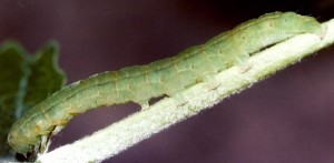 Scoliopteryx libatrix L5