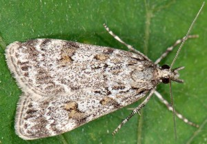 Scoparia ingratella 66 1