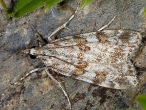 Scoparia staudingeralis 66 1
