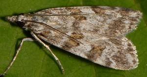 Scoparia staudingeralis 66 2