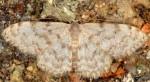 Scopula asellaria 2B 3