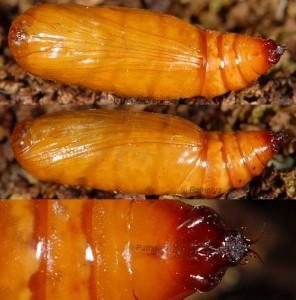 Scopula imitaria chrysalide 06 1