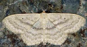 Scopula nigropunctata 05 1