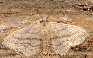 Scopula nigropunctata 81 1