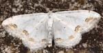 Scopula ornata 05 1