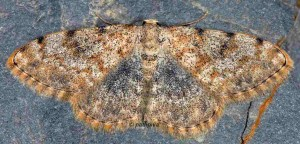 Scopula rufomixtaria 66 1