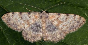 Scopula rufomixtaria 66 2