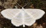 Scopula subpunctaria 06 1