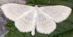 Scopula subpunctaria 73 1