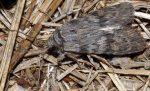 Scotochrosta pulla (I)