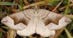 Scotopteryx angularia 06 1