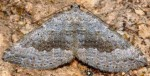 Scotopteryx bipunctaria 05 1