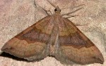 Scotopteryx chenopodiata 48 1