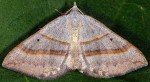 Scotopteryx luridata 43 1