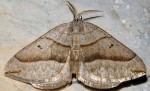 Scotopteryx mucronata 66 1