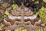 Scotopteryx obvallaria 2B 3