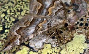 Scotopteryx obvallaria 2B 4