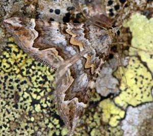 Scotopteryx obvallaria 2B 5