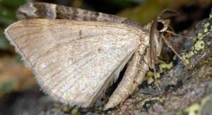 Scotopteryx obvallaria 2B 6