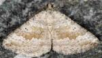 Scotopteryx octodurensis 38 1