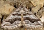 Scotopteryx peribolata 66 2