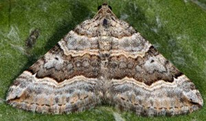 Scotopteryx vicinaria 05 2