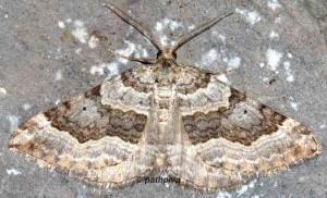 Scotopteryx vicinaria 05 3